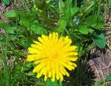 Diente de león: las malas hierbas comestibles o hierba codiciado?
