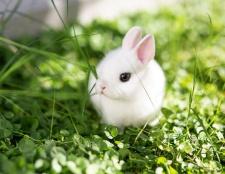 Cómo obtener y cuidar a los conejos enanos