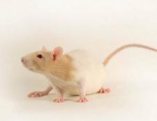 Sueño con ratas, ¿qué significan?